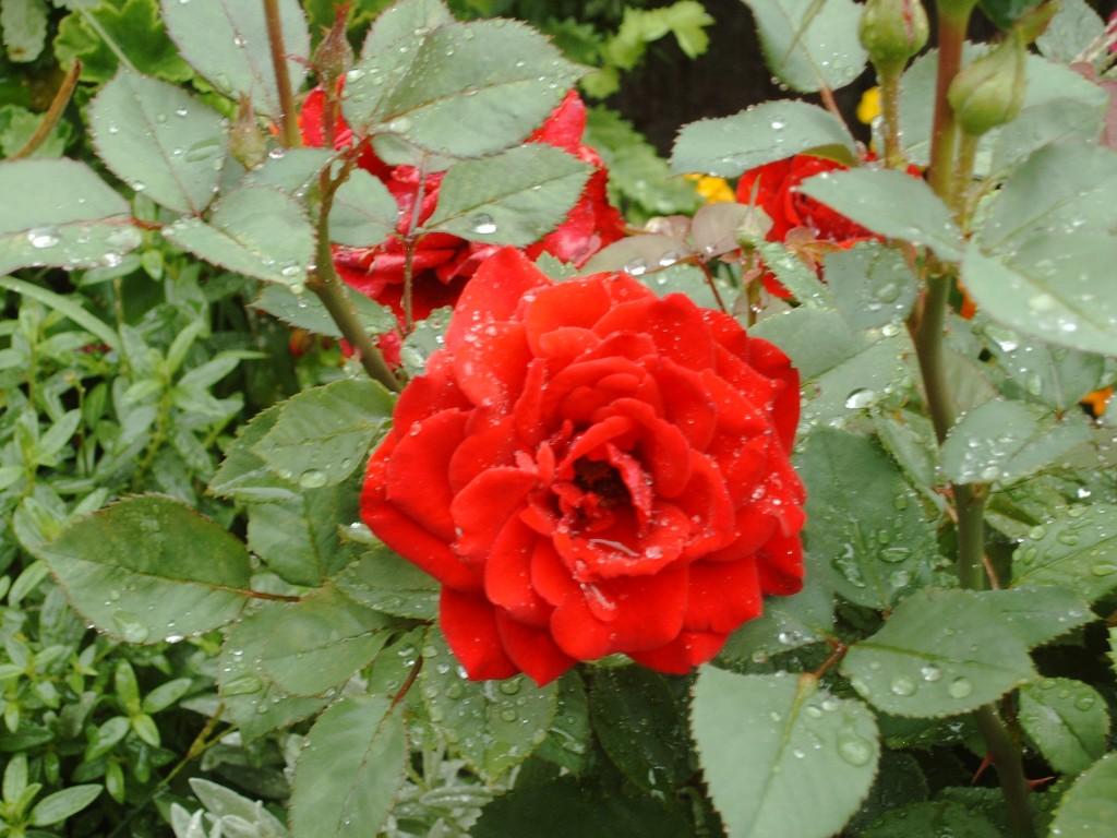 Klettergerüst Rosen : Rosenschnitt entscheidend für eine schöne rosenblüte